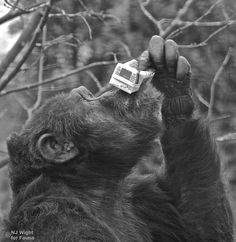 Happy Birthday Jane Goodall!  Binky rasies his juice to toast Jane Goodall on her 79th birthday.