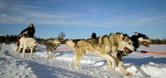 Enjoy a two hour husky safari in Rovaniemi and embrace the surrounding Lappish nature and the husky sleigh ride in silence. Husky, Sled, Safari, Dogs, Animals, Bucket, Travel, Chalets, Travel Agency