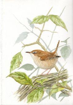 Steph' Thorpe. Bird Artist and Illustrator