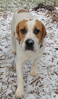Adoptable Dog, an English Bulldog and Beagle mix http://www.petfinder.com/petdetail/21923163
