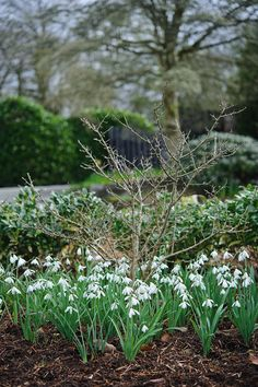 Galanthus nivalis 'Angelique'. Photo by Jason Ingram. Gardens Illustrated February 2013