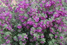 Texas sage is a tough Native Texas Plant with purple to lavender blooms spring, summer and fall. It can be used as a hedge or in containers as well as mass ...
