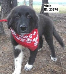 Vixie is an adoptable Border Collie Dog in Pell City, AL.  Primary Color: Black Secondary Color: White Age: 0yrs 5mths 0wks  Animal has been Spayed...
