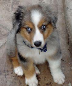australian shepherd puppy - Google Search