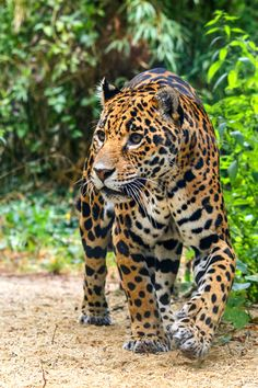 earthdaily:  Jaguar Panthera onca > Trees are the only thing cut down in the rainforest.