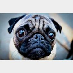 Seriously, when I come home to a face like this who could ever have a bad day? Man I love pugs