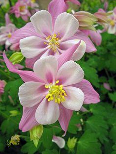 AQUILEGIA 'Spring time Magie Rosa/White' - Langsporet Akeleje, farve: rosa/hvid midte, lysforhold: sol, højde: 30 cm, blomstring: april - maj, velegnet til snit.
