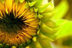 Sunflower by ~lexikling on deviantART