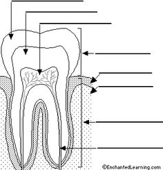 Label the parts of a tooth homeschool science biology dental tooth numbering work sheet tooth that extends into the bone of the jaw ccuart Choice Image