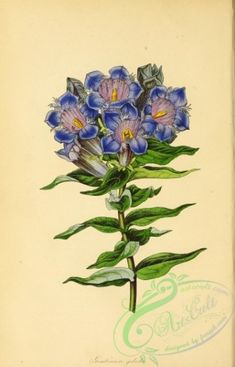 flowers-26945 - Ice-Gold Gentian, gentiana gelida [2893x4500] books scan Pictorial old Graphic flower blooming picture pages public fabric wall vintage flora 17th nature plants ArtsCult.com lithographs flowers high Edwardian domain paintings 1800s scrapbooking art supplies transfer collage royalty pack ArtsCult illustration Artscult qulity 1900s Paper nice 1700s decoration digital download botany craft Victorian ornaments century engravings commercial pre-1923 naturalist beautiful 18th free…