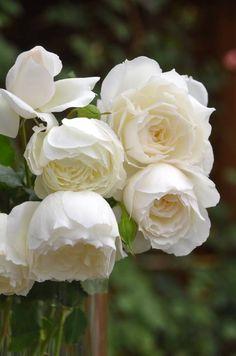 Love Rose, Love Flowers, Amazing Flowers, Beautiful Roses, Classy Wallpaper, Flower Wallpaper, White Roses, White Flowers, Prayer Garden