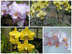 Phalaenopsis!:) Получение заказа с форума орхидей!