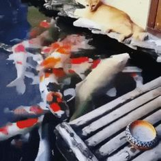 Cats love to play with ornamental fish - Cute cats, cat breeds, ornamental fish, friendly animals Funny Cat Memes, Funny Cat Videos, Funny Shit, Funny Stuff, Animals And Pets, Funny Animals, Cute Animals, Best Cat Gifs, Funny Cute
