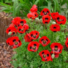 Papaver (Poppy) Communtatum Ladybird