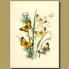 Antique lithograph of butterflies is by Henry Humphreys. It is over 155 years old