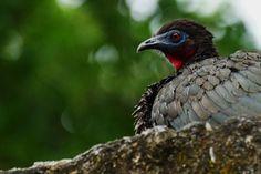 Crested Guan (Penelope purpurascens)   Tikal, Guatemala.