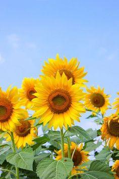 Beautiful sunflower blossom with blue sky. Sunflower Garden, Sunflower Art, Sunflower Fields, Sunflower Photography, Scenery Photography, Sunflower Pictures, Whatsapp Wallpaper, Sunflower Wallpaper, Felder