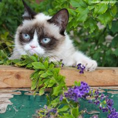 The Daily Grump | Grumpy Cat. She is so cute and what beautiful eyes!