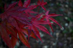 Moonfire Japanese Maple (Acer palmatum 'Moonfire') at Connon Nurseries CBV