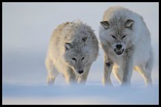 White Wolf - Friends