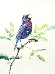 Varied bunting. Original watercolour. Bird illustration.