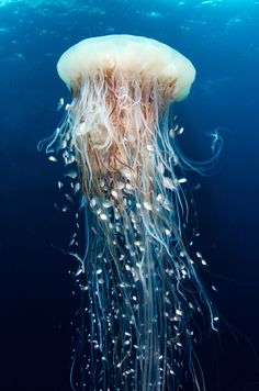 We are diving off the coast of Gabon, under eerie oil platforms. Here there is amazing marine life, like the jellyfish in the photo, with dozens of silver little fish among its long tentacles. Dive...