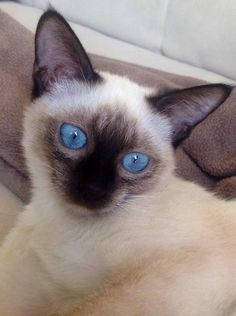 Siamese Cats are amazing! Siamese Kittens, Cats And Kittens, Crazy Cat Lady, Crazy Cats, Abyssinian, Seahorses, Here Kitty Kitty, Domestic Cat, Crabs