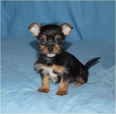 Adorable Little Chorkie Puppies.