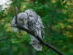 National Geographic Picture of the Day | Picture of a mother Ural owl and chick in Estonia