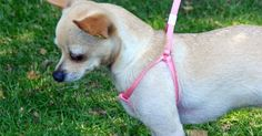 The Dog Geek: Product Review: Little Pals Adjustable Harness and Leash Combo