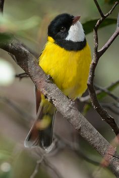 Cheery and Bright ~ Male Golden Whistler