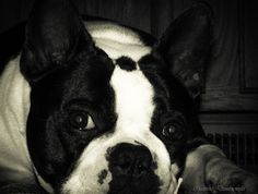 (2) Our guy..Marley Perfect Circle | Boston Terrier Friendzy