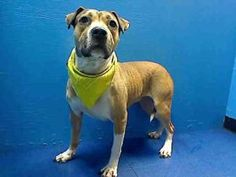 ANGEL is an adoptable Pit Bull Terrier Dog in Brooklyn, NY. ...