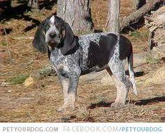 American Blue Gascon Hound           www.petyourdog.com