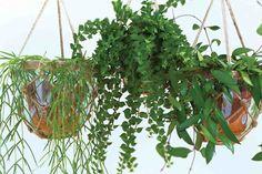 NIEUWE WETERING - In samenwerking met Stichting Oasebos en Bakker Hillegom voert Elstgeest Potplanten een hangplanten-actie voor behoud van het tropisch regenwoud. Voor iedere acht verkochte Hang on Green hangplanten koopt Elstgeest Potplanten, producent van de Hang on Green, 1m2 oerwoud in Costa Rico, dat beheerd en beschermd wordt door Stichting Oasebos. Het in