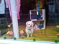 How much is that Doggy in the Window?   This pup was chillin in a storefront on Bergen street this morning...