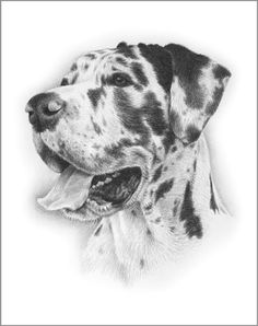 pet portraits by julie rhodes, portraits in pencil, pet portraits of dogs and cats, drawn from photos