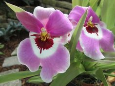 Pansy Orchids by Gardenia Hung-Wittler on Capture My Chicago // Pansy Orchids