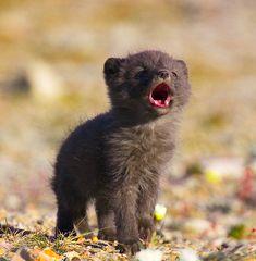Arctic fox pup. Such a cutie!