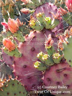 Prickly pear Cactus photography , Cactus prints,  Flower prints, flower photography -Pastel, Pink, Purple. yellow, green by TwistofUnique