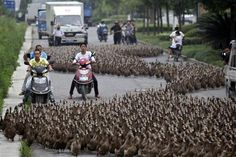 Traffic on a street in the city of Taizhou came to a screeching halt after a farmer took a flock of nearly ducks for a walk. The farmer and his herd marched about a mile from their farm to a pond in Taizhou, Zhejiang province, China, on June Animal Pictures, Cool Pictures, Cool Photos, Funny Pictures, Amazing Photos, Beautiful Pictures, In China, Quack Quack, Spiegel Online