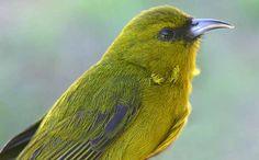 Native Hawaiian bird - Amakihi