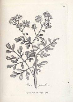 125280 Ruta graveolens L. / Woodville, W., Medical botany, vol. Herb Tattoo, Plant Tattoo, Ruta Graveolens, Left Arm Tattoos, Olive Branch Tattoo, Botany Illustration, Natur Tattoos, Plant Drawing, Botanical Drawings