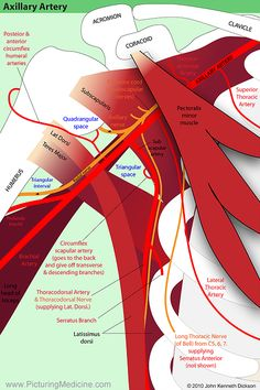 The Anatomy of the Axilla. There are certain key points of anatomy that are… The Anatomy of the Axilla. There are certain key points of anatomy that are… Muscle And Nerve, Muscle Body, Muscle Anatomy, Body Anatomy, Upper Limb Anatomy, Shoulder Anatomy, Gross Anatomy, Medical Anatomy, Human Anatomy And Physiology