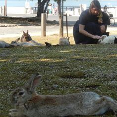 Do you know rabbits island ?? My friends from Russia are now in Hiroshima and they visited Okuno Island where many rabbits live   I did not know about it and was amazed that they knew  it  tourists know more about Japan  than I do