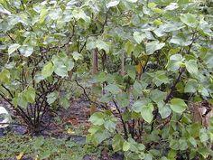 Kava Kava ist eine Pflanzenart aus der Familie der Pfeffergewächse. Ihre Wurzel wird seit Jahrhunderten in der Südsee zu medizinischen Zwecken verwendet.Foto: Forest & Kim Starr [CC BY 3.0 (http://creativecommons.org/licenses/by/3.0)], via Wikimedia Commons