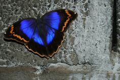 The Blue butterfly (Maculinea alcon)