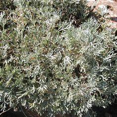 Leucanthemum hosmariense   Copyright Greenplantswap 2015