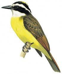 Lesser Kiskadee (Philohydor lictor)