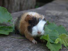 meerschweinchen baby süß - Google-Suche
